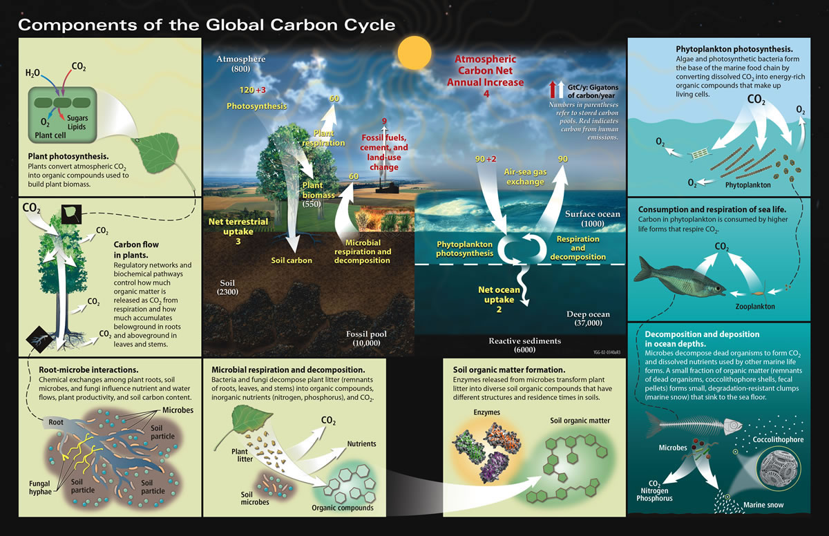 What Is The Carbon Cycle What Is The Science Behind It